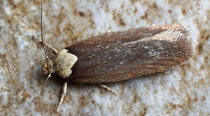 Read full article: WisContext: The Purple Carrot-Seed Moth Lands In Wisconsin
