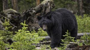 Read full article: Wisconsin Bear Harvest Down 11 Percent