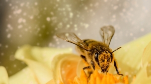 Bee in flower.