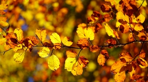 fall birch leaves