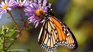 monarch butterfly on aster