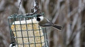 Chickadees on suet feeder.