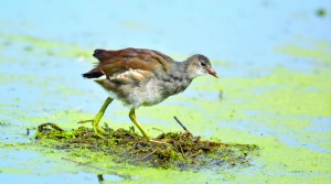 Common Gallinule on the Great Lakes