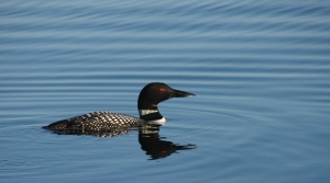 Read full article: Icy Conditions Caused Loons To Fall From Sky. After Being Rehabbed, They're Back In The Wild.