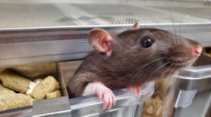 Read full article: Wisconsin Professor Helps Lucky Lab Rats Find Good Homes