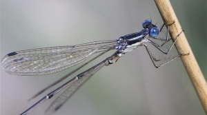 Slender spreadwing damselfly