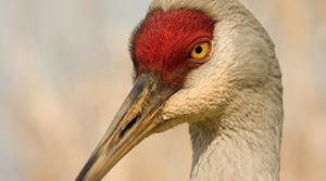 Read full article: Greater Sandhill Crane Sanctuary Celebrates 40 Years