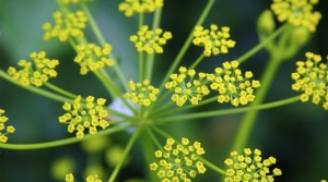 Wild parsnip is an invasive species in Wisconsin