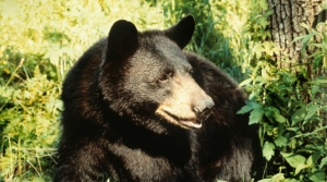 Read full article: Natural Resources Board Approves Reduced Bear Harvest For 2019