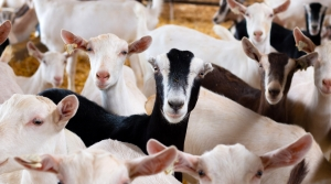 Read full article: WisContext: Wisconsin Is America's Dairy Goat Land