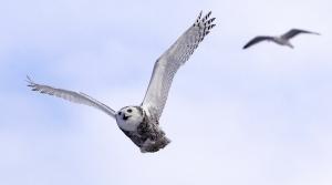 Read full article: Hoo Is Back? Snowy Owls Return To Wisconsin