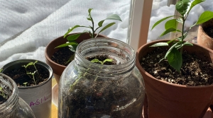 Vegetable seedlings and citrus plants appear in pots, jars and cans on a ledge inside a home