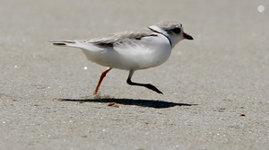 Read full article: High Water In Great Lakes Spells Trouble For Endangered Bird