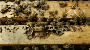 Read full article: Wisconsin Honey Producers See Third Year Of Declining Production