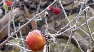 Read full article: Wisconsin Fruit Growers Protect Crops As Freezing Temperatures Return