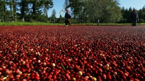 Read full article: Cranberries, Wisconsin's Most Profitable Fruit, Face An Uncertain Future