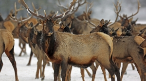 Read full article: Assembly Committee OKs Lifting Elk Hunting Limits