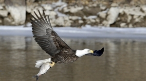 Read full article: Why Winter Is The Best Time To See Bald Eagles In Wisconsin