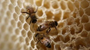 Read full article: While Honey Production Continues To Decline, Wild Honey Bees Appear To Be Thriving