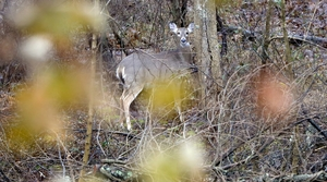 Read full article: Study: Bleach Deactivates CWD Prions On Metal Surfaces