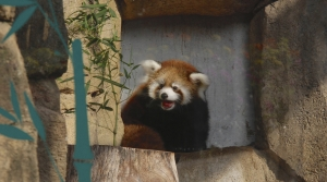 Kiki a red panda at the Milwaukee County Zoo