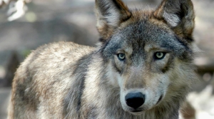 Read full article: Hunters Harvest Nearly 100 More Wolves Than Allowed Under Quota