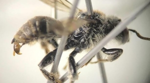 Read full article: Rare Bee Confirmed In Wisconsin For First Time In More Than A Century