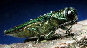 Read full article: Extreme Cold May Have Chilling Effect On Emerald Ash Borer