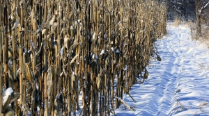 Snow in a cornfield