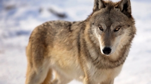 Read full article: Wisconsin Wolf Hunt Set To End 2 Days After It Began