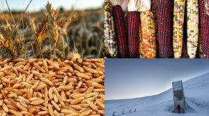 Read full article: Ancient Grains, Native Corn And The Doomsday Seed Vault: How Growing Food Might Survive Disaster