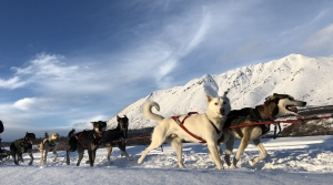 Read full article: Wisconsin Musher Takes Lessons From Sled Dogs To Cope With Pandemic