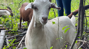 Read full article: At 'Goatapalooza,' Families Get A Look At Goats Working To Clear Invasive Species