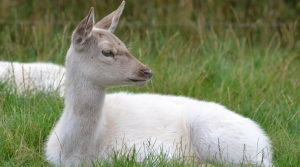 White Deer Rests In The Grass