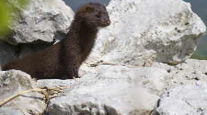 Read full article: Wisconsin Officials Confirm First Coronavirus Deaths In State's Mink Industry