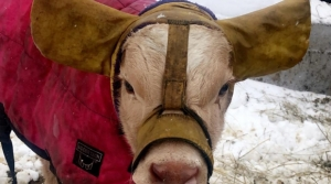 A Calf Wears Custom Ear Muffs In Cold Weather