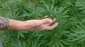 Read full article: Wisconsin Hemp Growers Call On DATCP To Change Regulation After Testing Delays