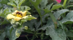 Read full article: New App Helps Wisconsin Farmers, Researchers Track Wild Bee Populations