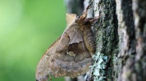 polyphemus moth on a tree