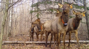 Read full article: WisContext: What The Advance Of CWD Means For Wisconsin's Elk