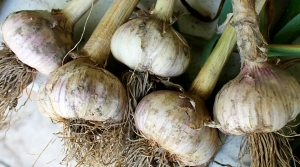 Read full article: WisContext: Why Homegrown Garlic Is Best Planted In Autumn