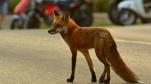 Read full article: WisContext: The (Not So) Secret Lives Of City-Dwelling Coyotes And Foxes