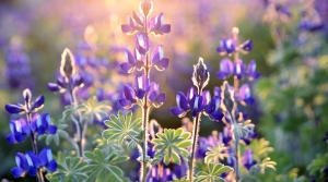 Purple lupines in garden.