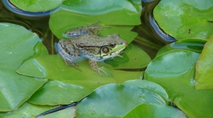 American bullfrog on lily pad.