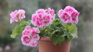 Pink geranium in a clay pot.