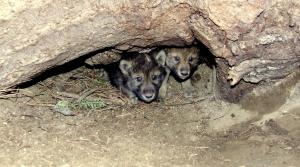 Gray wolf pups emerging from a den