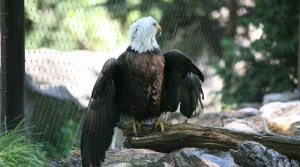 A bald eagle perches on a branch on the ground near a fence.