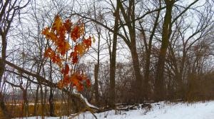 An oak tree sapling