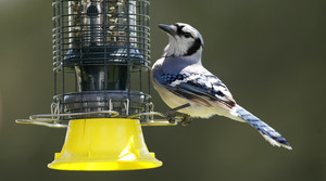 A blue jay is seen on a feeder