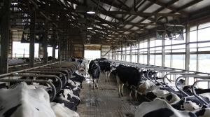 Dairy cows in a barn